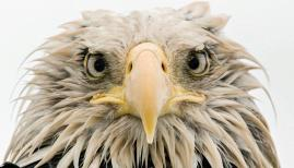 Bold eagle by Klaus Nigge (Germany) Wildlife Photographer of the Year Award