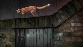Beasts of London explores London's animal life, with Kate Moss voicing the Fox. Credit: Museum of London
