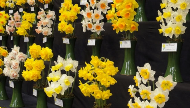 Ron Scamp Quality Daffodil display at the RHS Great London Plant Fair 2013. COPYRIGHT: © RHS CREDIT: RHS / Tim Sandall