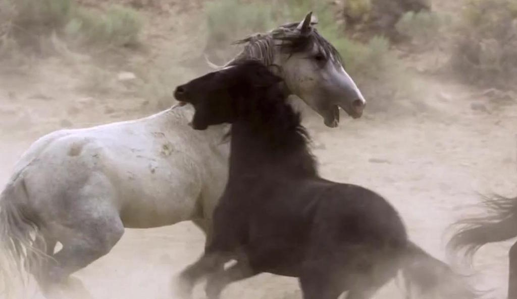 Mustangs in episode 2 'Deserts', Planet Earth II