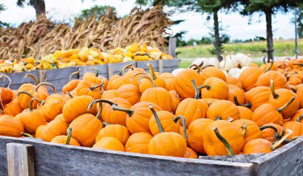 Best pumpkin patch for easy picking: PYO Pumpkins
