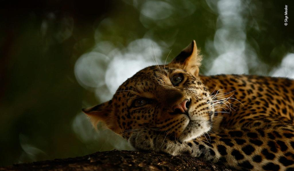 Lounging leopard by Skye Meaker, South Africa