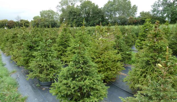 Rent your Christmas tree from London Christmas Tree Rental
