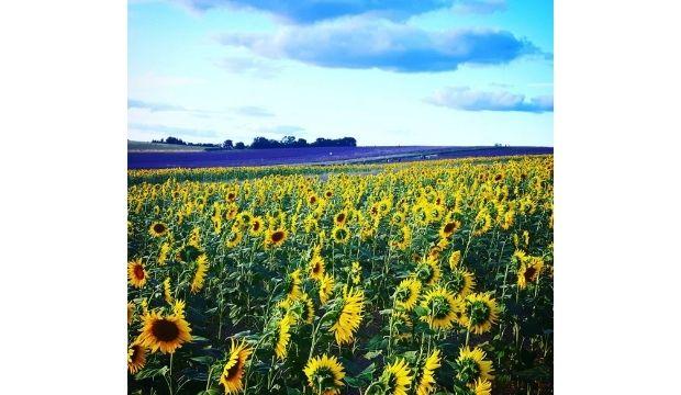 Hitchin Farm Sunflower Field